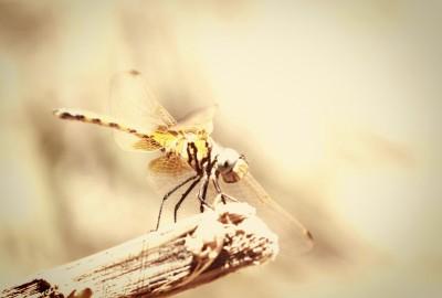 Dragon-Fly-Early-Bird
